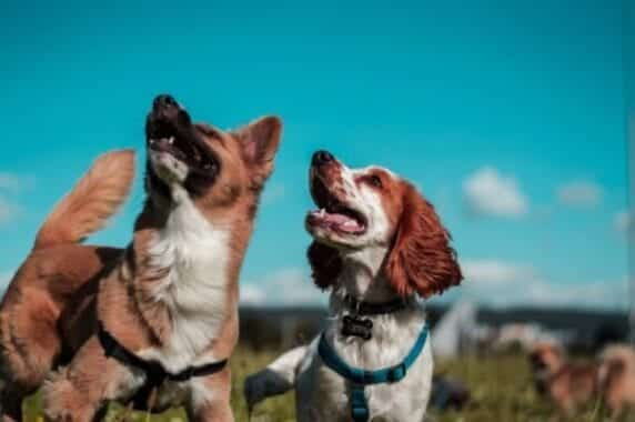 Artificial intelligence can detect 5 emotions from dogs' barking
