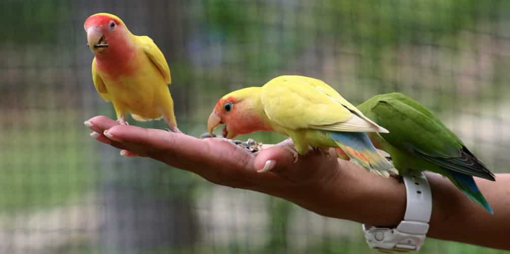 Difference Between Parrotlet And Lovebird